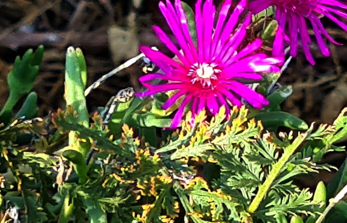 Delosperma cfr. cooperi (Aizoacea)