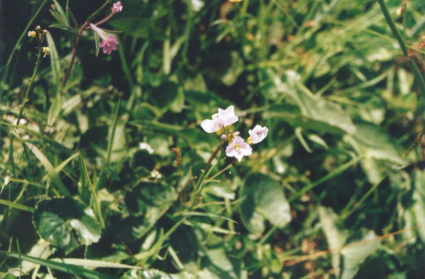 Dalle Shetland: Epilobium palustre (Onagraceae)