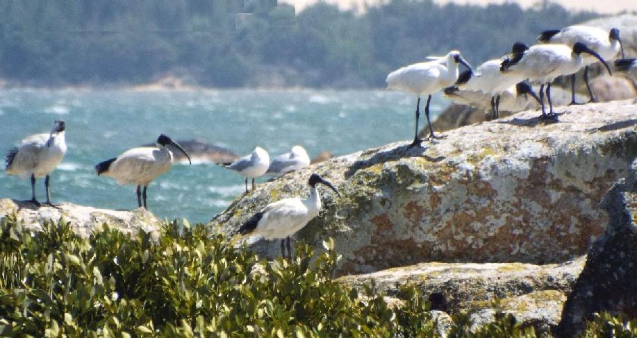 Uccelli australiani 1