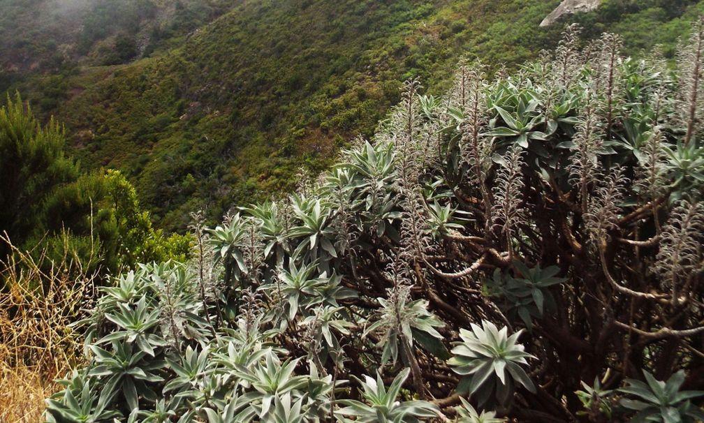 Da La Gomera (Canarie): Echium acanthocarpum (Boraginaceae)