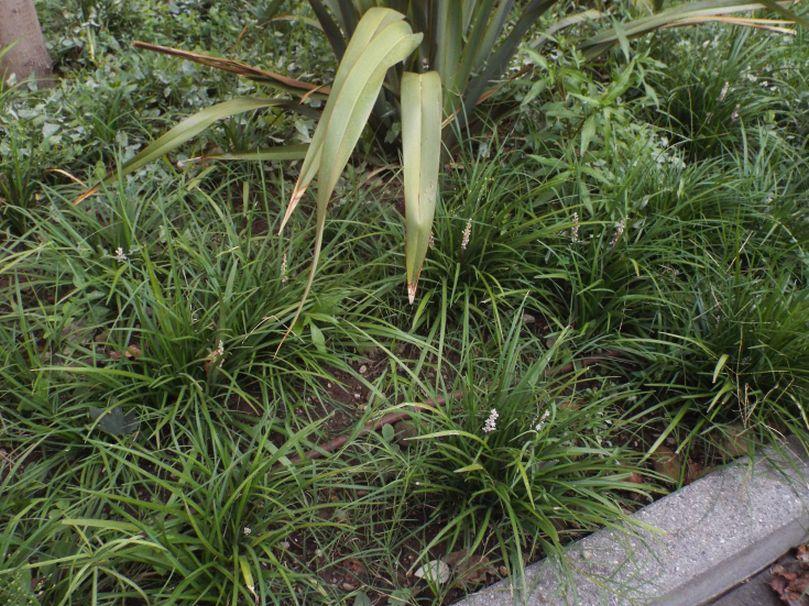 Liriope spicata (Asparagaceae)