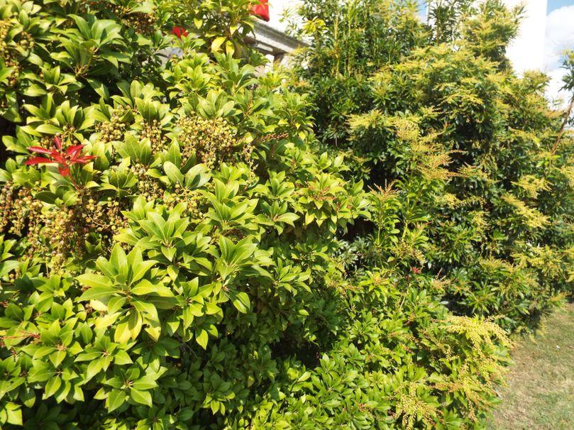 Pieris japonica (Ericaceaae)