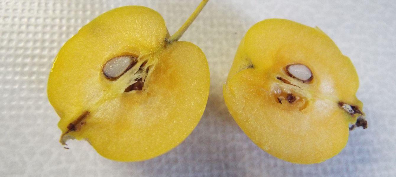 Malus x zumi ''Golden Hornet'' (ibrido naturale)