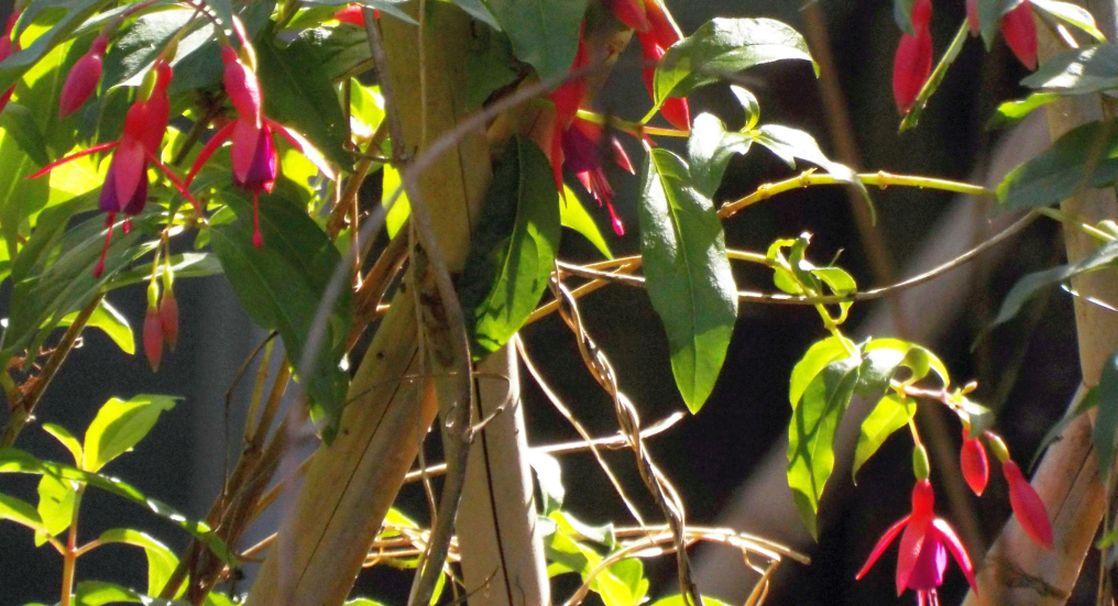 Fucsia cfr. magellanica, probabile ibrido cv  (Onagraceae)