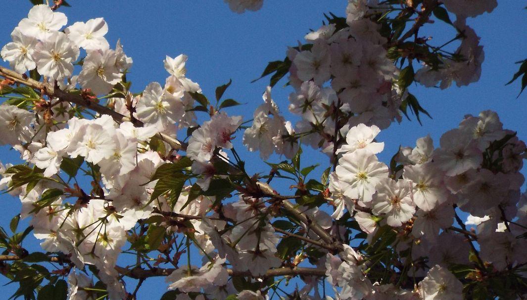Tutti cv di Prunus serrulata ? Probabile...