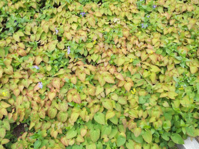 Epimedium perralderianum o suo ibrido cv (Berberidaceae)