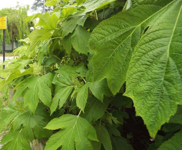 Hydrangea quercifolia   (Hydrangeaceae)