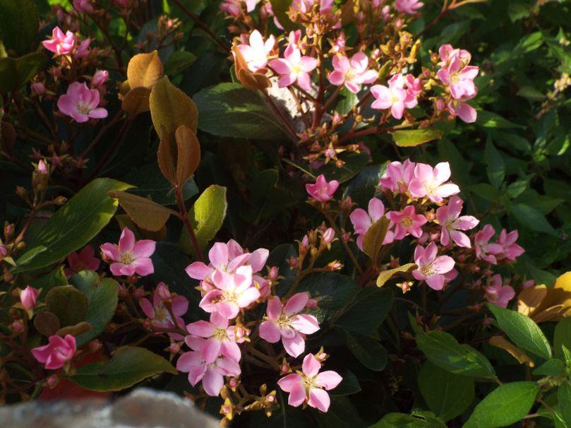 Kalanchoe sp. ? No!   Rhaphiolepis indica (Rosaceae)