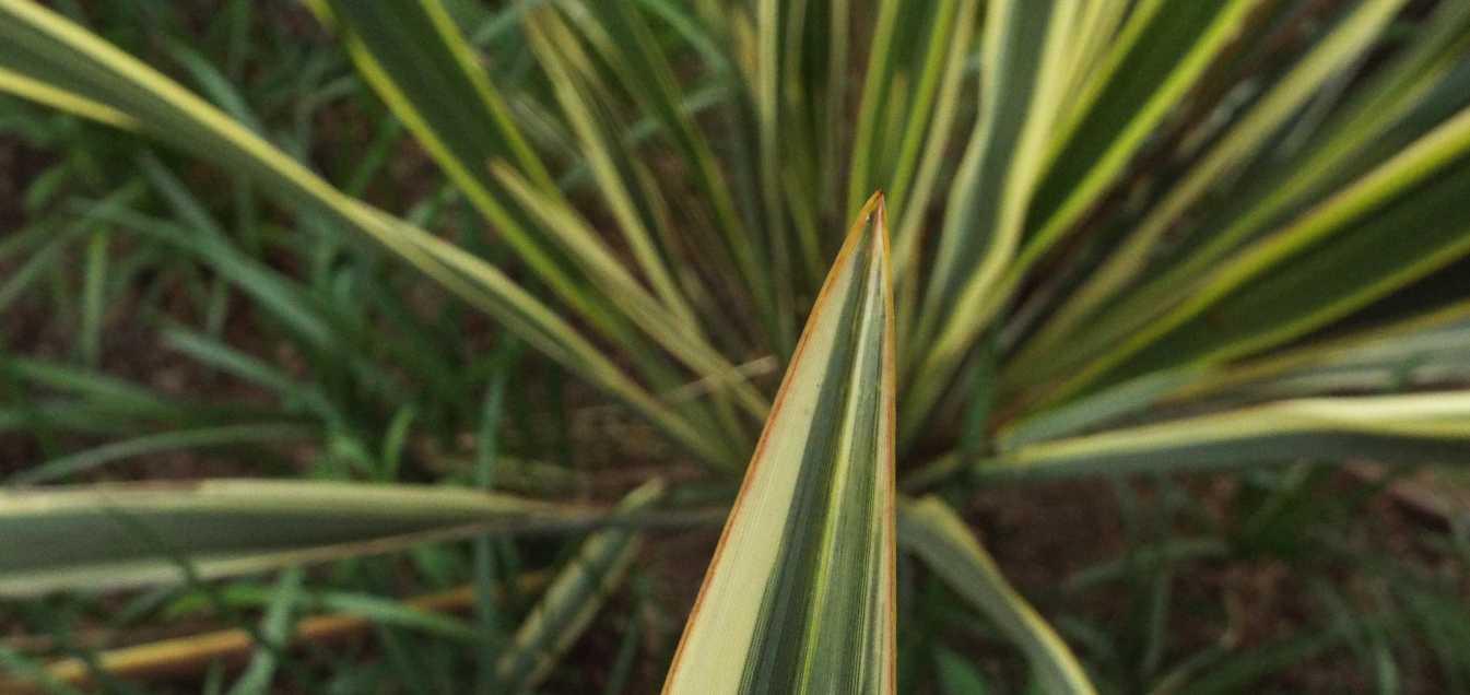 cv di Phormium cookianum (Asphodelaceae) [cfr.]