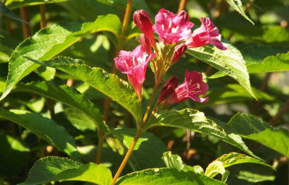 Weigela florida (Caprifoliaceae) [cv]