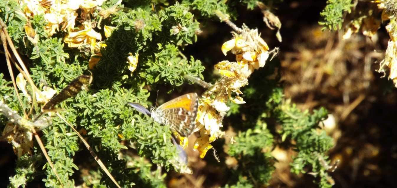 Da Tenerife (Canarie): Fabaceae:  Adenocarpus foliolosus e/o viscosus