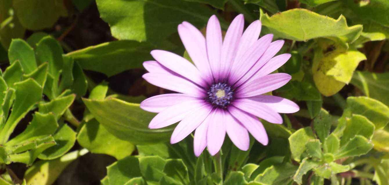 Da La Gomera (Canarie): Dimorphoteca sp. (Asteraceae)