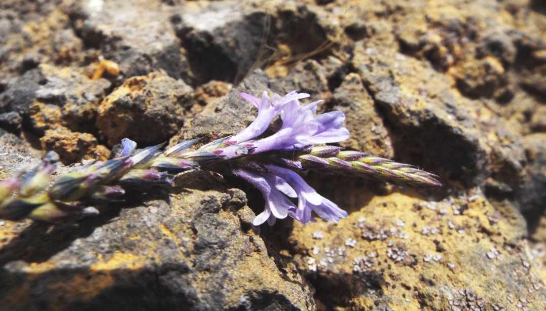 Da Tenerife (Canarie):  Verbena ?  No, Lavandula sp. (Lamiaceae)