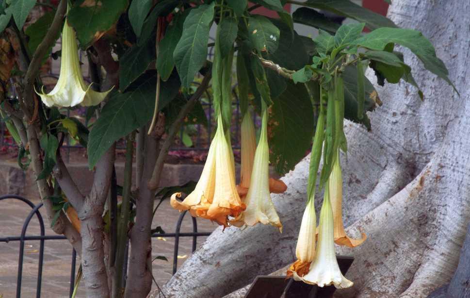 Da Tenerife (Canarie):  Brugmansia versicolor (Solanaceae)