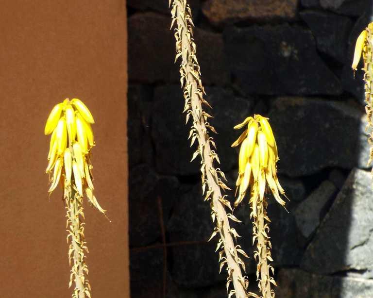 Da Tenerife (Canarie):  Quale aloe? Aloe vera