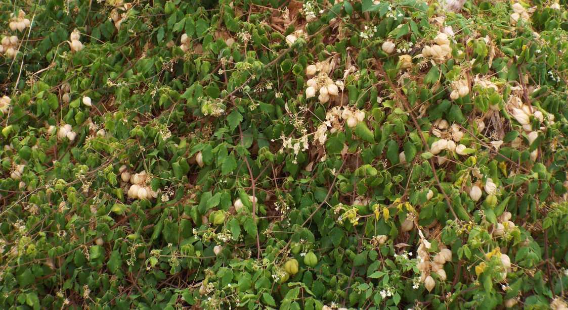 Da La Gomera (Canarie): Alchechengi ? No, Cardiospermum grandiflorum  (Sapindaceae)