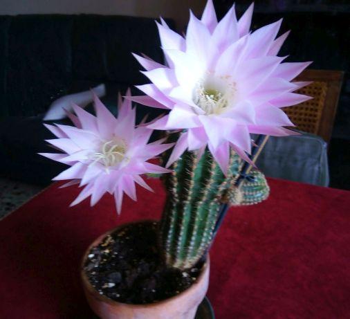 Cactaceae: Echinocereus chinoensis? No, Echinopsis multiplex