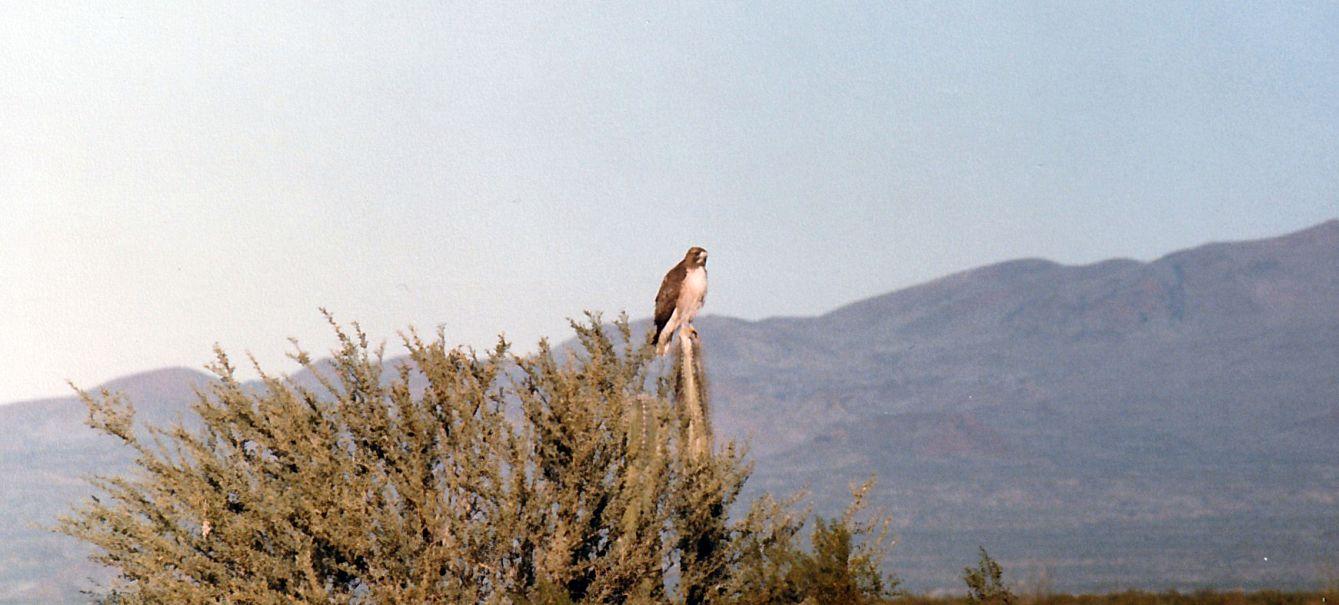 Dall''Arizona: Buteo jamaicensis