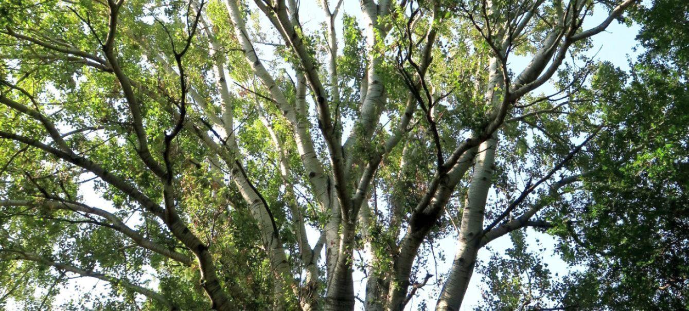 Betulla? No, Populus alba