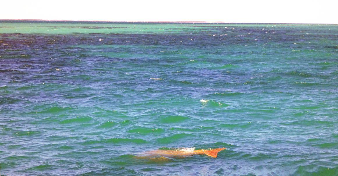 Australia: incontro ravvicinato con un dugongo
