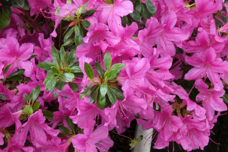 Rhododendron sp.:  Rododendro o Azalea?-->