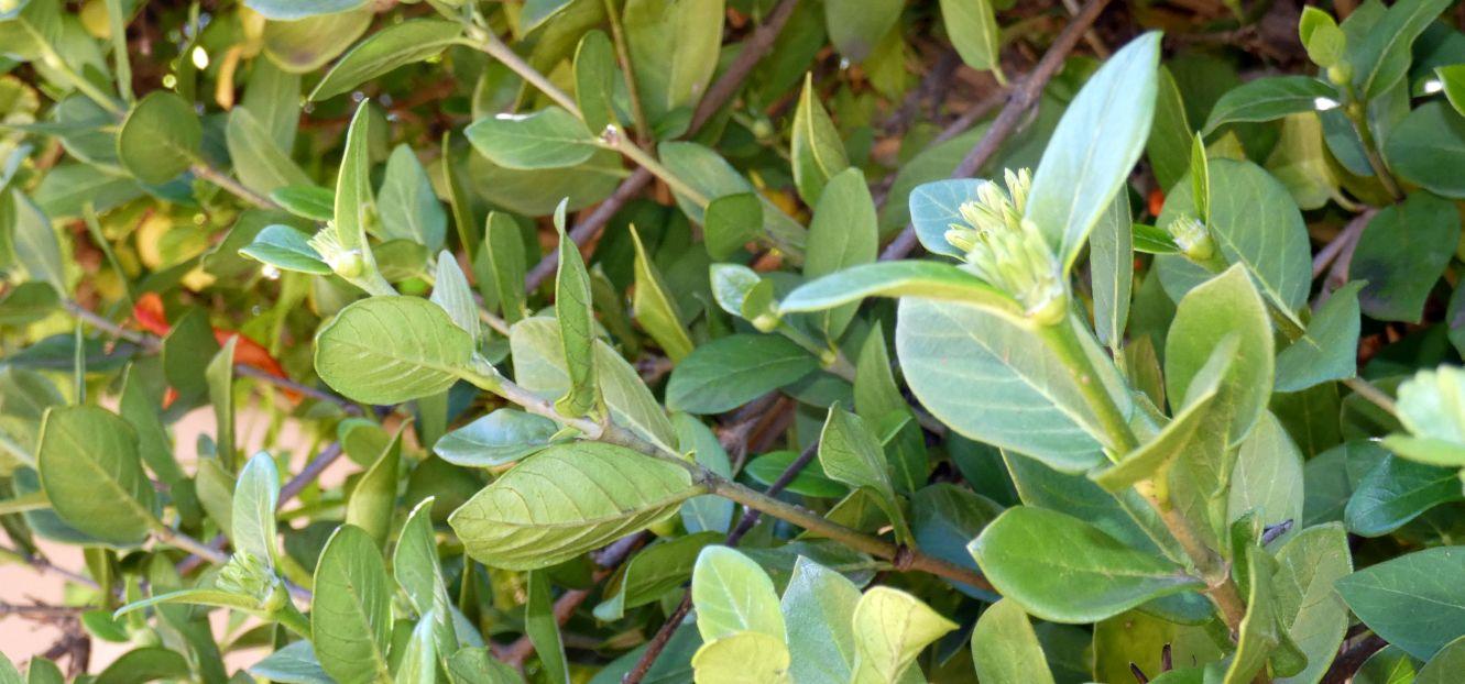 Fiore dall''Australia (WA):  Burchellia bubalina (Rubiaceae)