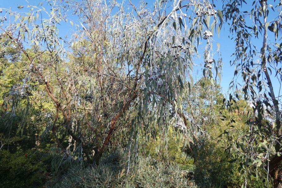 Dall''Australia (WA): Eucalyptus caesia e E. kingsmillii