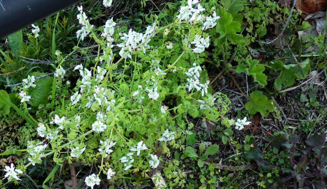 Fiore dall''Australia (WA): Fumaria capreolata (Papaveraceae)