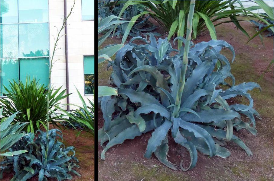 Dall''Australia (WA): Agave gypsophila (Asparagaceae)