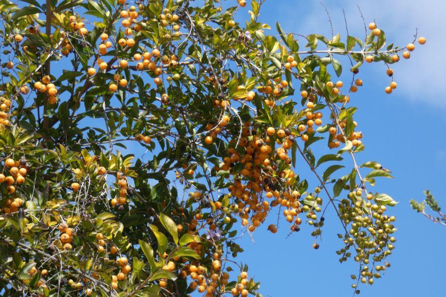 Albero dall''Australia (WA):  Duranta erecta (Verbenaceae)