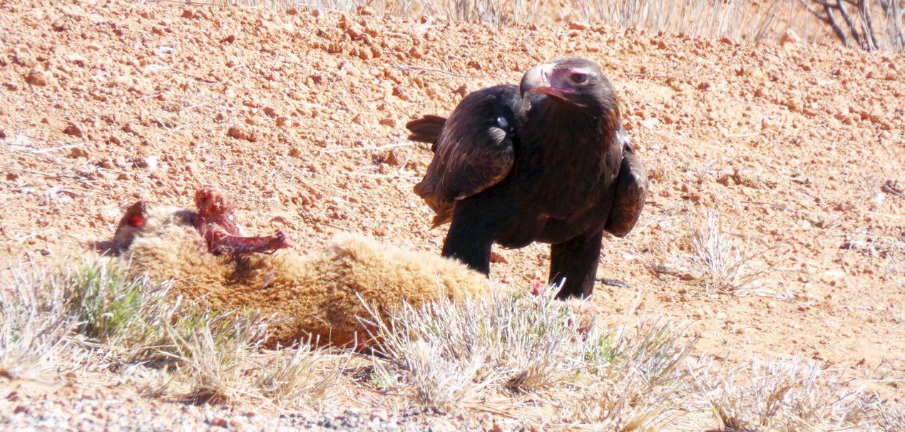 Il pasto dell''Aquila audax (Australia - Territori del Nord)