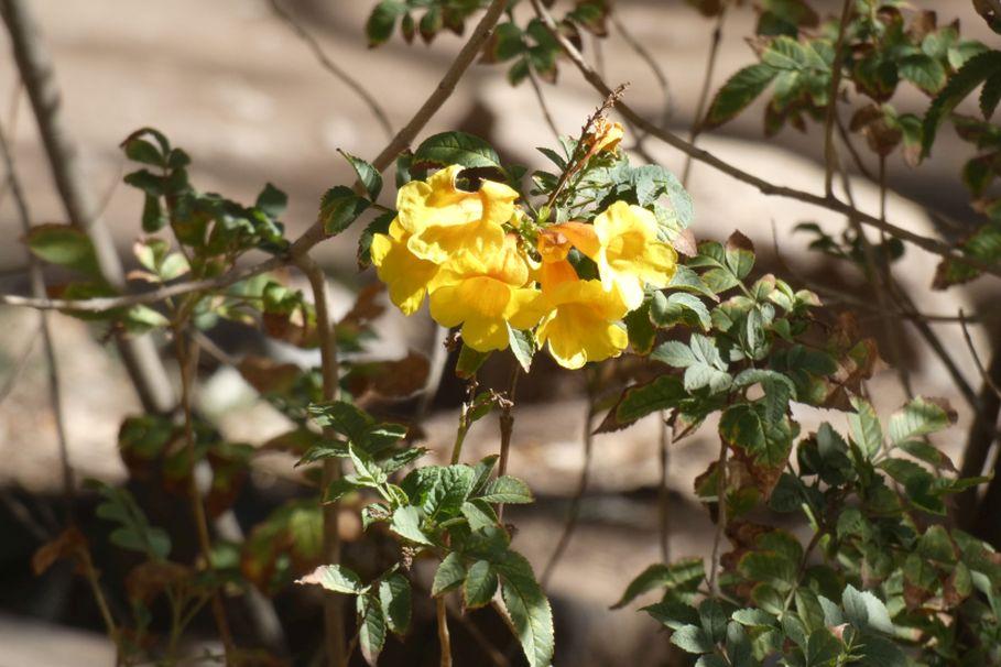 Fiore dall''Australia (NT): Tecoma stans (Bignoniaceae)