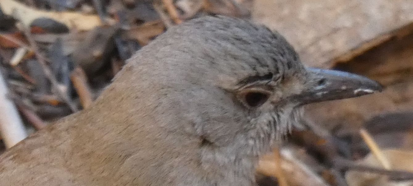 Dall''Australia (NT): Tordo-averla grigio (Colluricincla harmonica ssp. rufiventris)