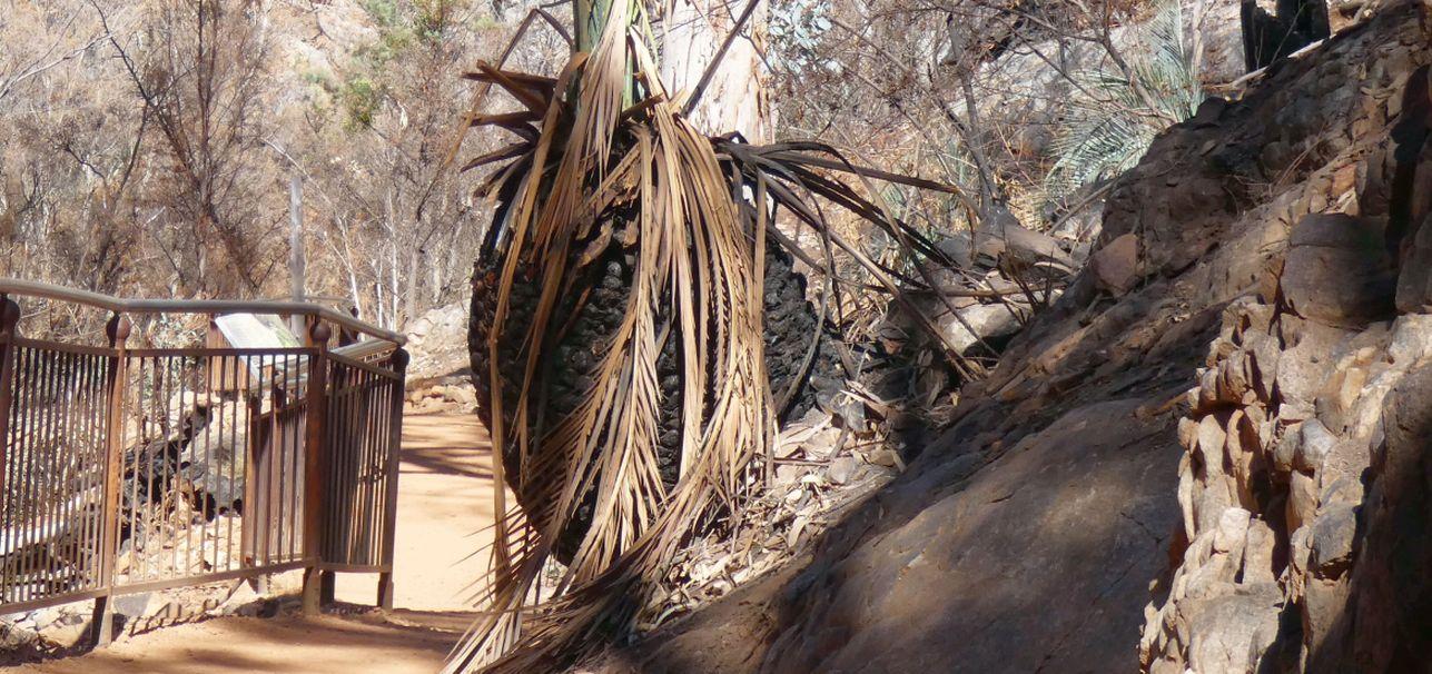 Pianta dall''Australia (NT): Macrozamia macdonnellii  ( Zamiaceae)