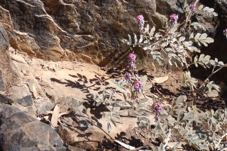 dall''Australia (NT): Indigofera basedowii (Fabaceae)