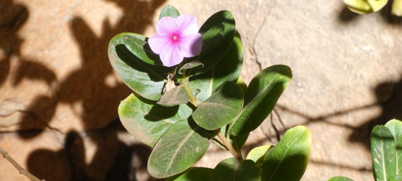 dall''Australia (NT): Catharanthus roseus (Apocynaceae)