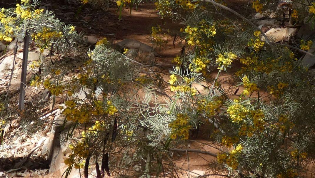 Pianta dall''Australia (NT): Senna artemisioides (Fabaceae)