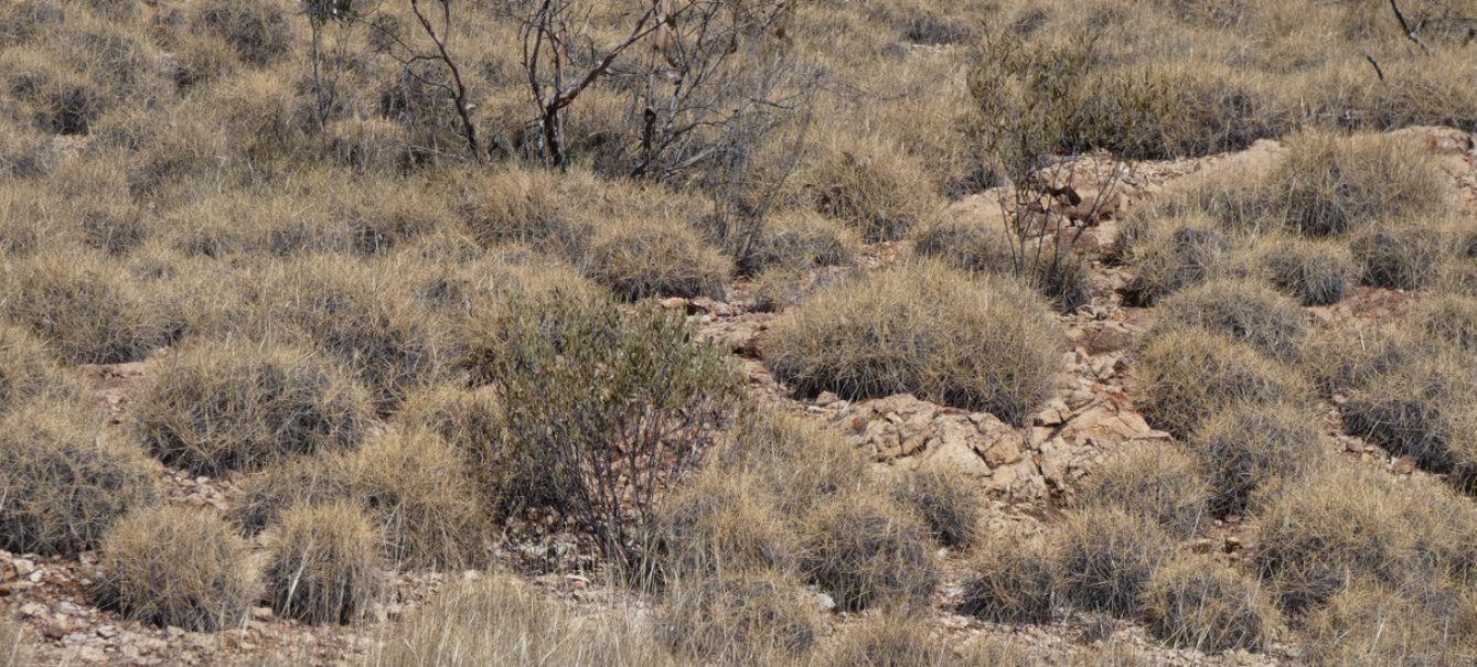 Pianta dall''Australia (NT):  Spinifex ??... Triodia spp. (Poaceae)