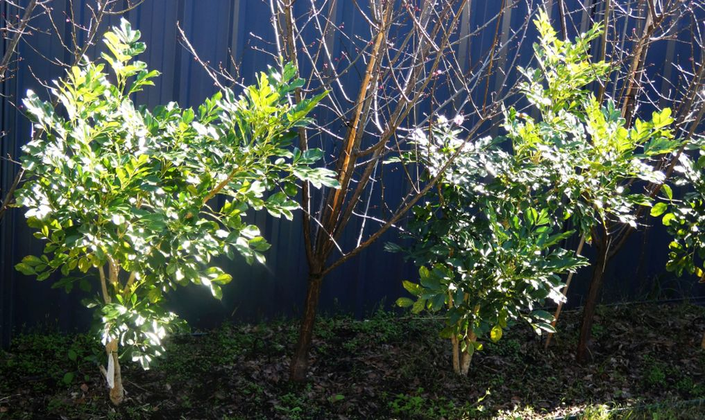 dall''Australia (WA):  Radermachera sinica (Bignoniaceae)