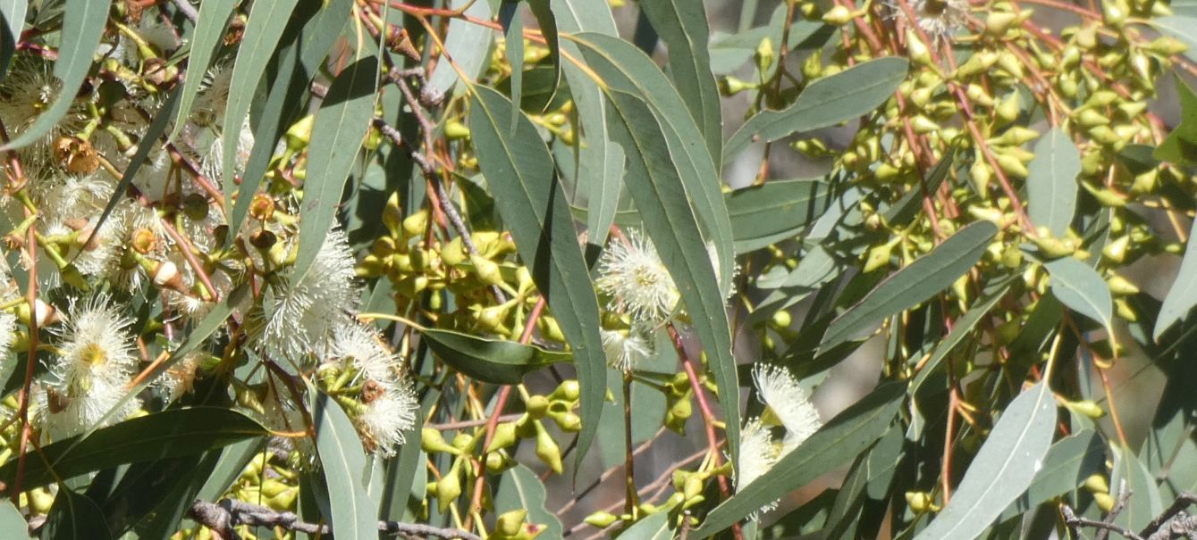 Dall''Australia (WA): Eucalyptus rudis (Myrtaceae)