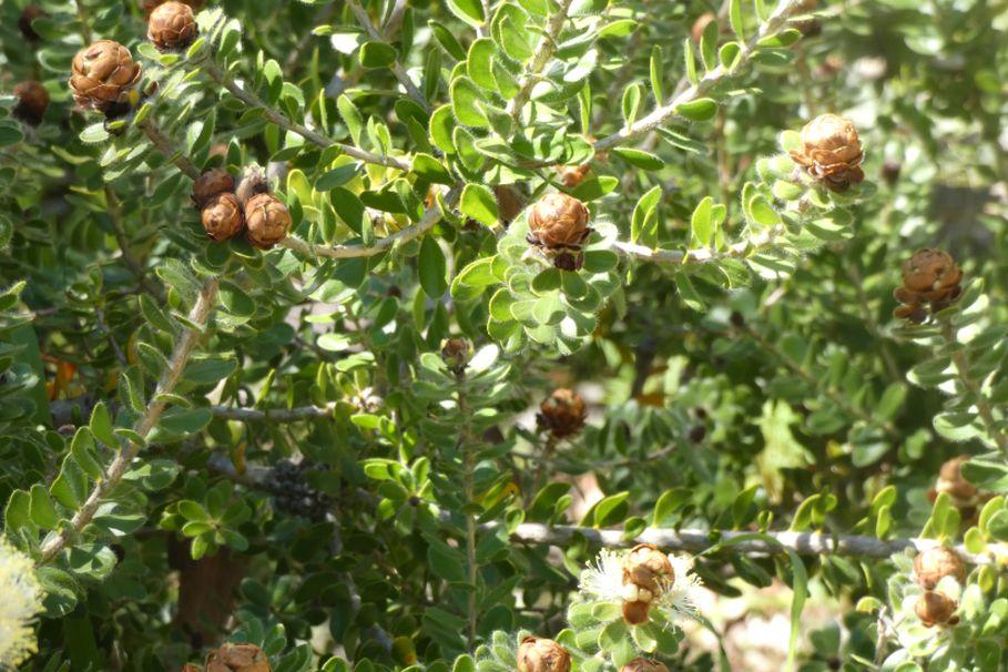 Dall''Australia (WA): Melaleuca megacephala (Myrtaceae)