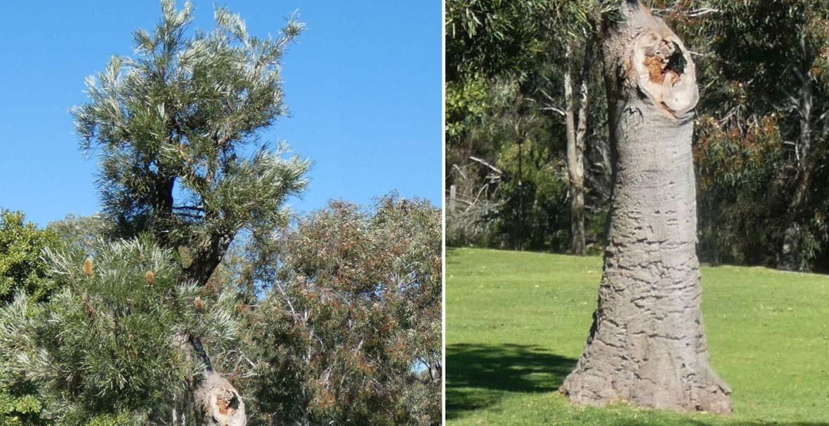 Dall''Australia (WA): Banksia littoralis (Proteaceae)