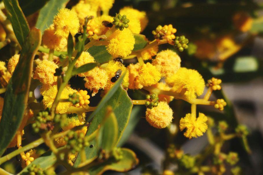 Dall''Australia (WA): Acacia xanthina (Fabaceae)