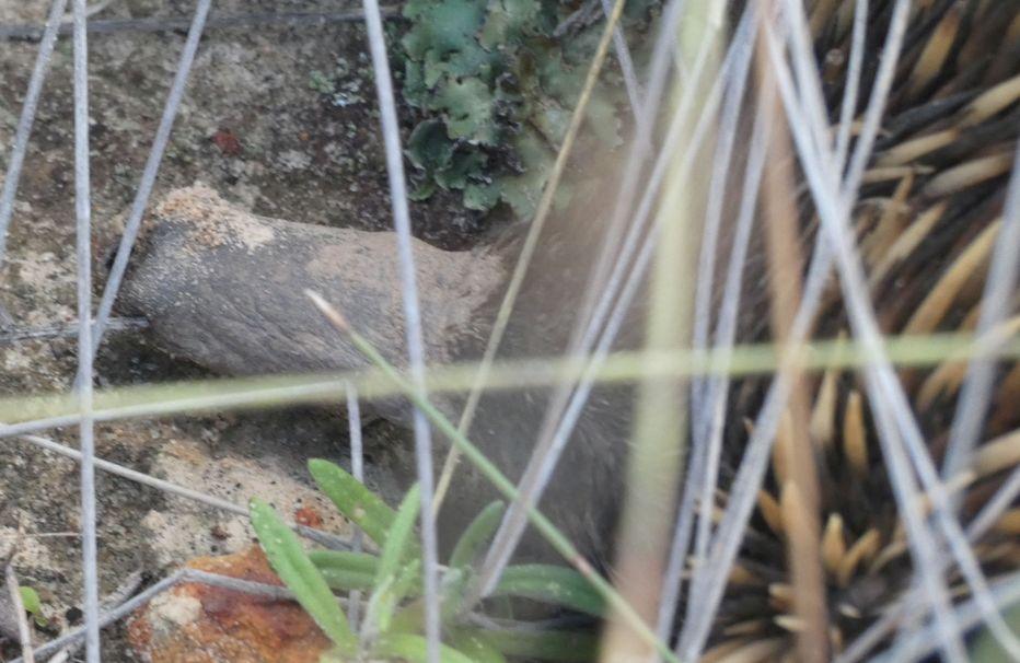 Western Australia: incontro ravvicinato con l''Echidna