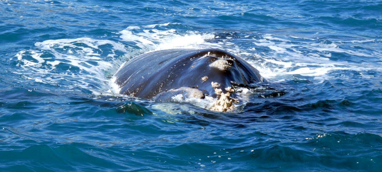 Australia: incontro ravvicinato con la balena