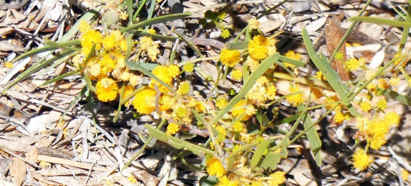 Dall''Australia (WA):  Acacia  da id.