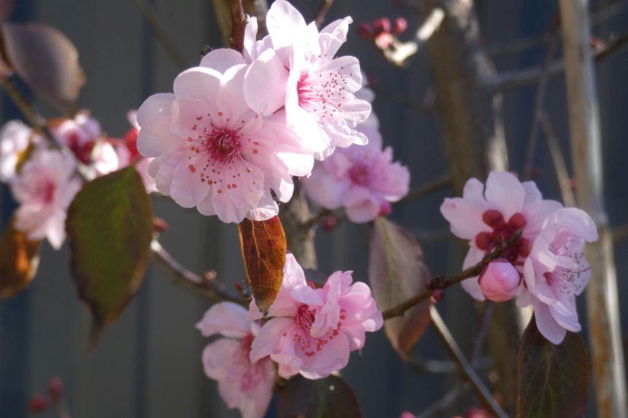 Dall''Australia (WA) : cv Prunus cerasifera (Rosaceae)