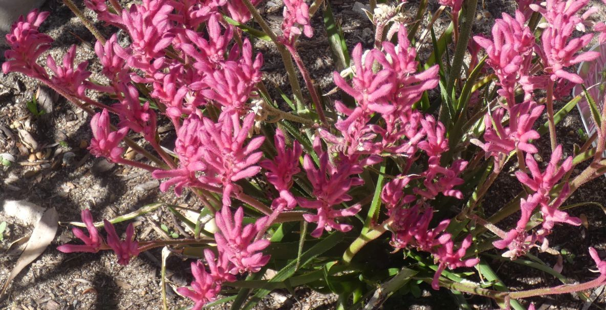 Dall''Australia (WA):  Anigozanthos x hybrid (Haemodoraceae)