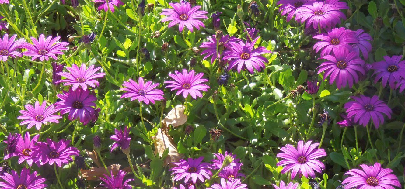 Dall''Australia (WA):  Cv di Osteospermun sp.  (Asteraceae)