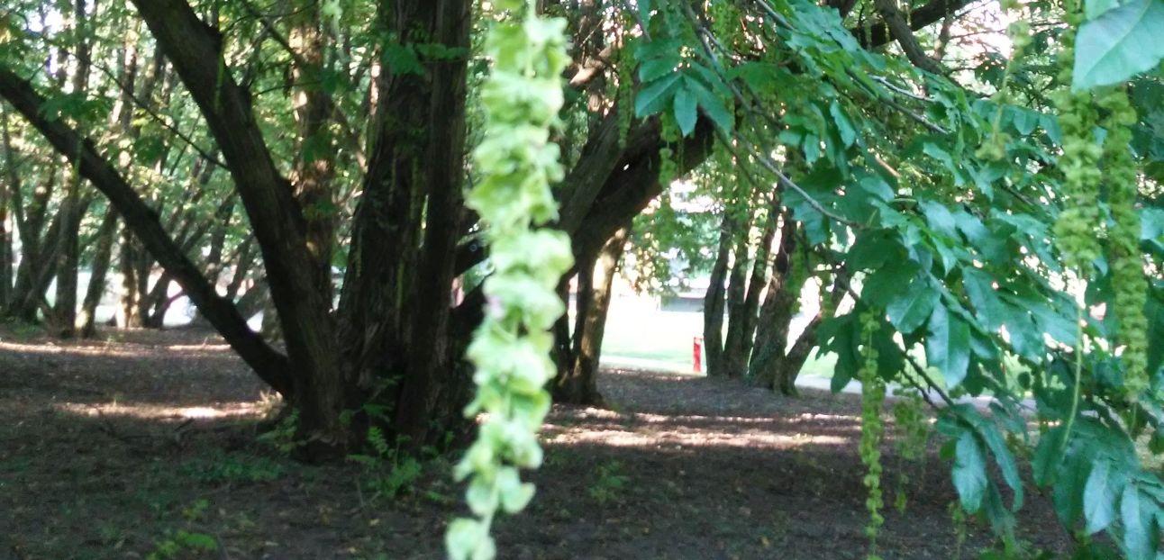 Pterocarya fraxinifolia / Noce del Caucaso (Juglandaceae)